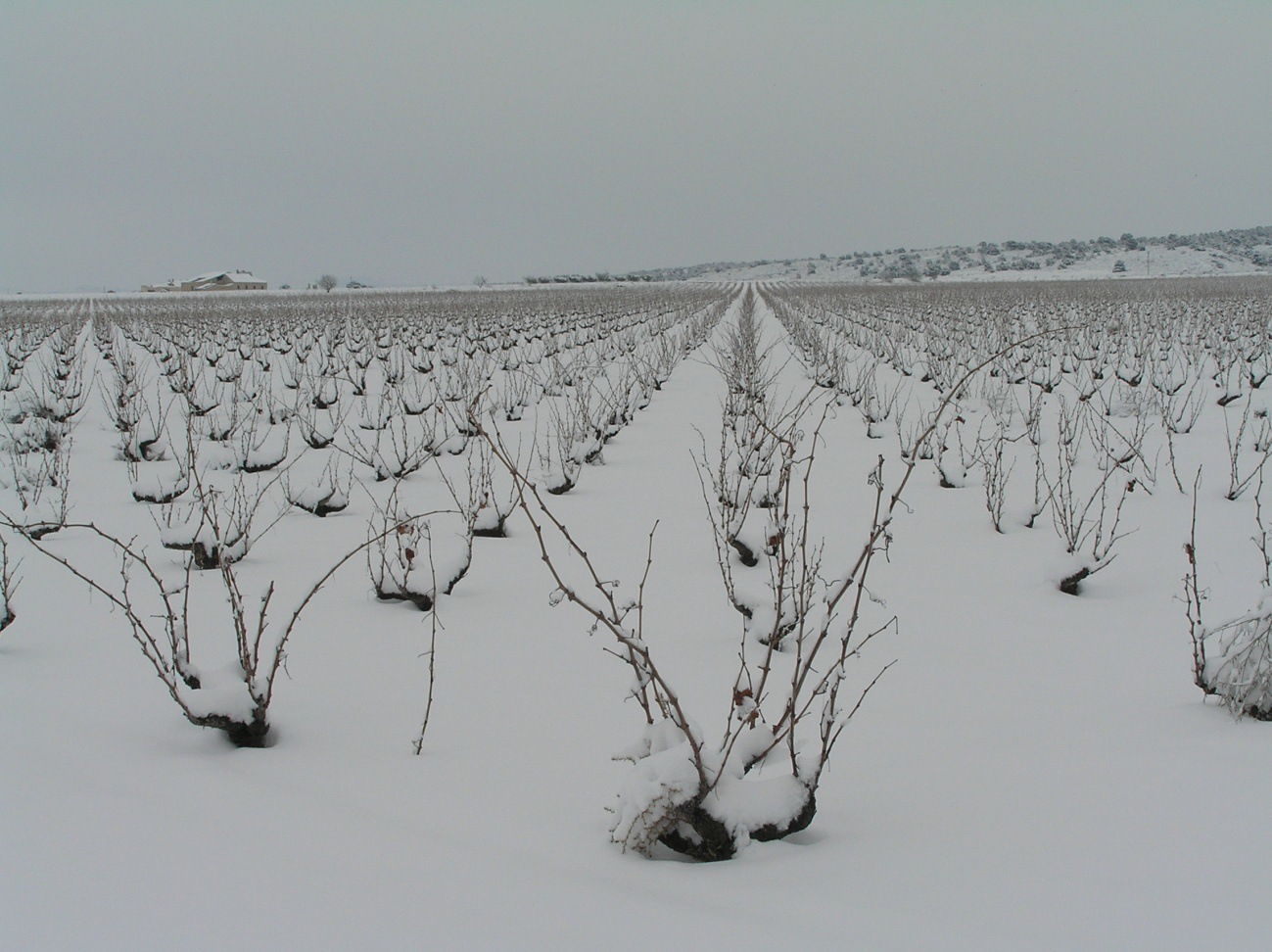 vinedos-nieve